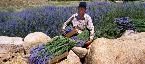 Lone Pine Lavender Harvest June and July